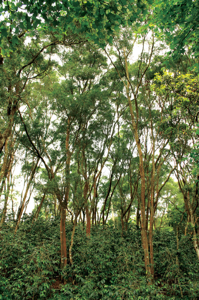 Acacia confusa used as a cover tree for coffee plantations. Acacia confusa is used in the same way for birds nest fern farms as well.