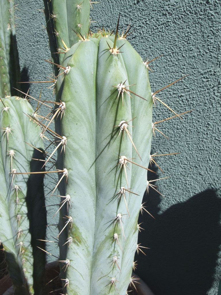 Trichocereus photo by Mel